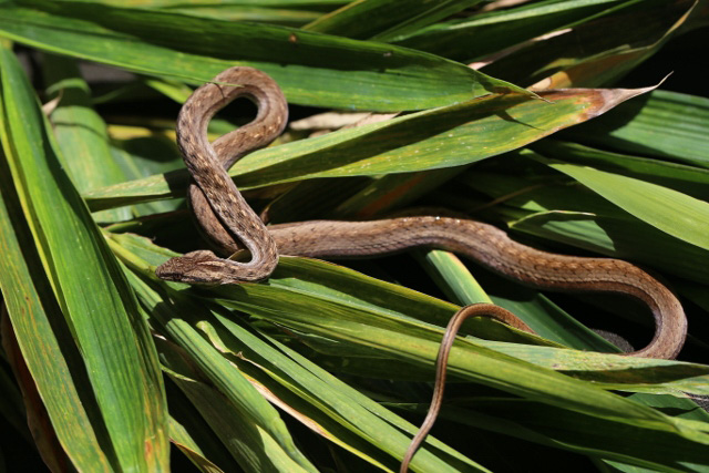 Brown striped water snake