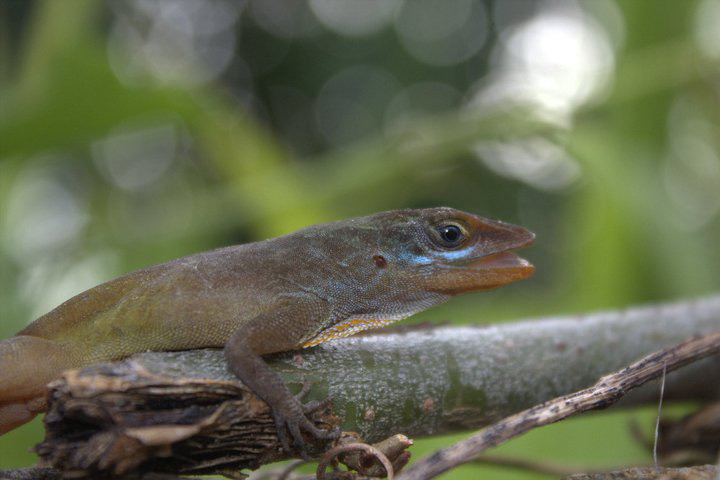 Fig. 1. Adult Male Anolis wattsi. Photo by A. Fifi.