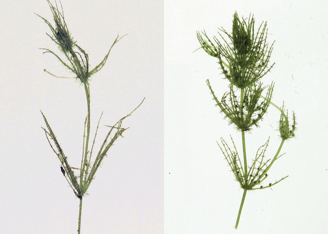 Fig. 6. Sparsely branched (left); richly branched (bushy) right