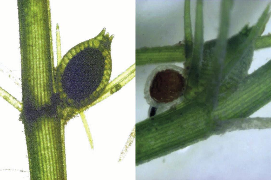 Fig. 8. Monoecious species (left), dioecious species (right)