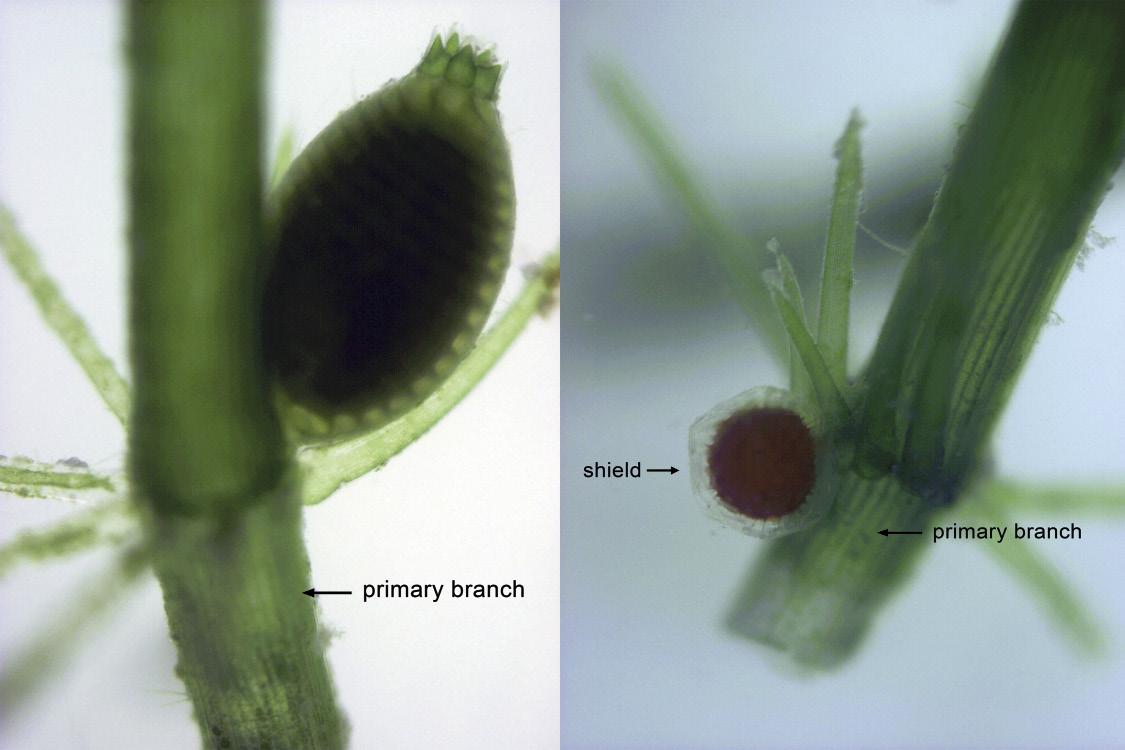 Fig. 4. Nucule on upper side of node (left) and Globule, on lower side of node (right)