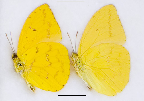 Fig. 1. Underside of male P. argante (left) and male P. agarithe (right), Trinidad, no data labels, M. Barcant (ABCT). Scale bar = 1cm. (Photo M.G. Rutherford).