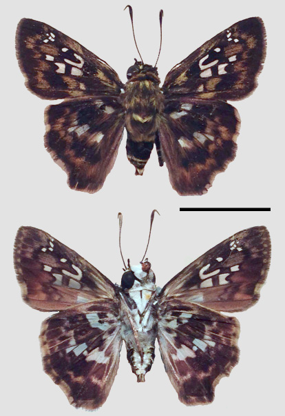 Fig. 5. Adult male Udranomia kikkawai collected March 2015 as caterpillar on Ouratea guildingii, Toco, S. Alston-Smith (SAS). Scale bar = 1cm