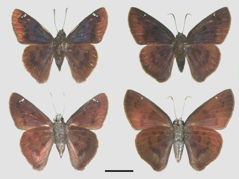 Fig. 6. Adult male (left) and female (right) Telemiades squanda. Male, Los Bajos, November 1994, S. Alston-Smith (SAS); female, Quinam, August 1992, S. Alston-Smith (SAS). Scale bar = 1cm.