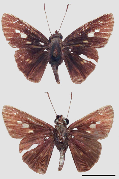 Fig. 9. Adult male Thoon modius, collected at roadside eupatorium flowers, Balata East, January 2015, S. Alston-Smith (SAS). Scale bar = 1cm.