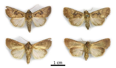 Fig. 2. Condica sp. nr. concisalis (Walker), dorsal view above, ventral view below. Left, male, Curepe, black light trap, 21-28 February 1982, F.D. Bennett [MJWC]. Right, female, St. Benedict's, at light, 10-16 July 1996 (M.J.W. Cock) [MJWC].