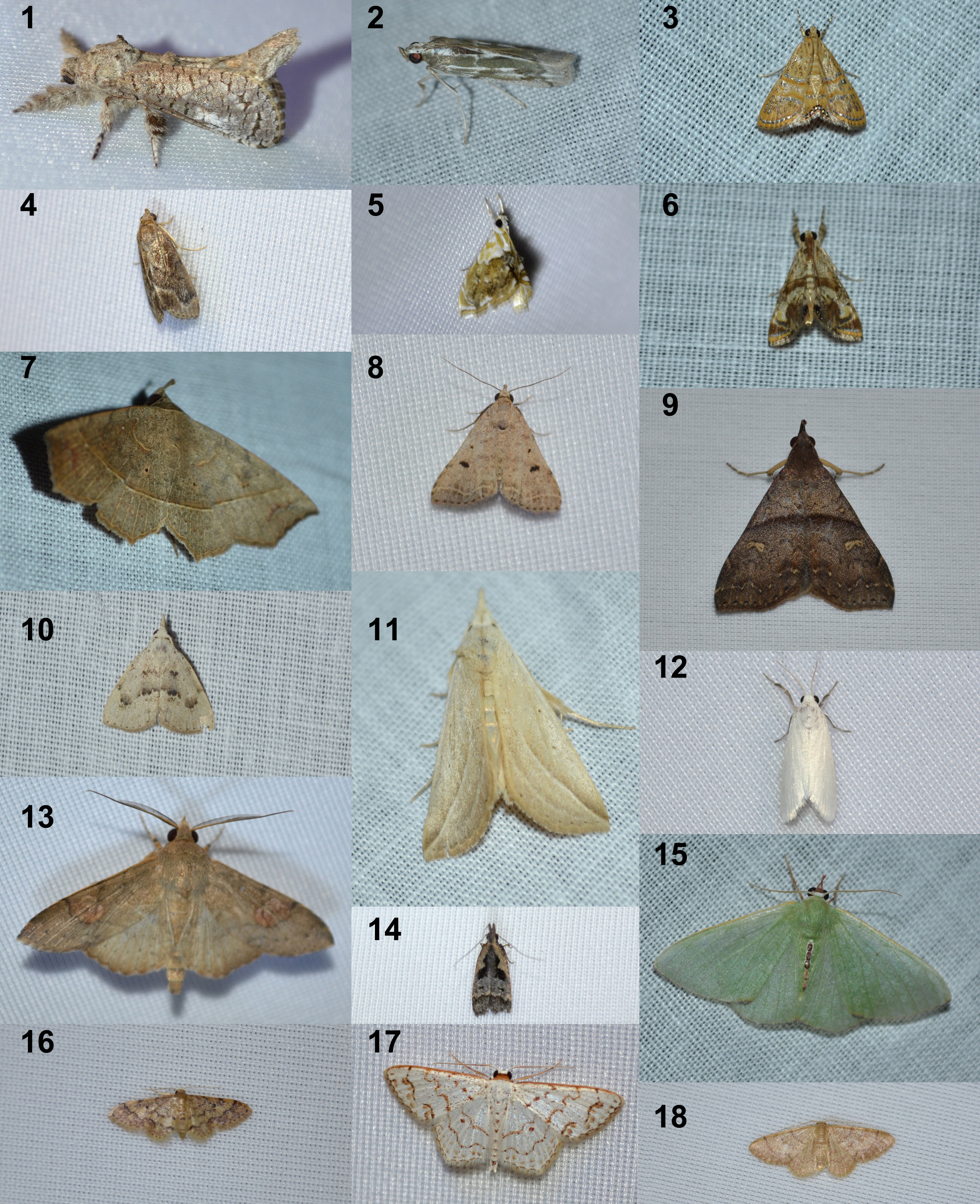 Plate 1 Moths of Huevos Part 1. See text for species names.