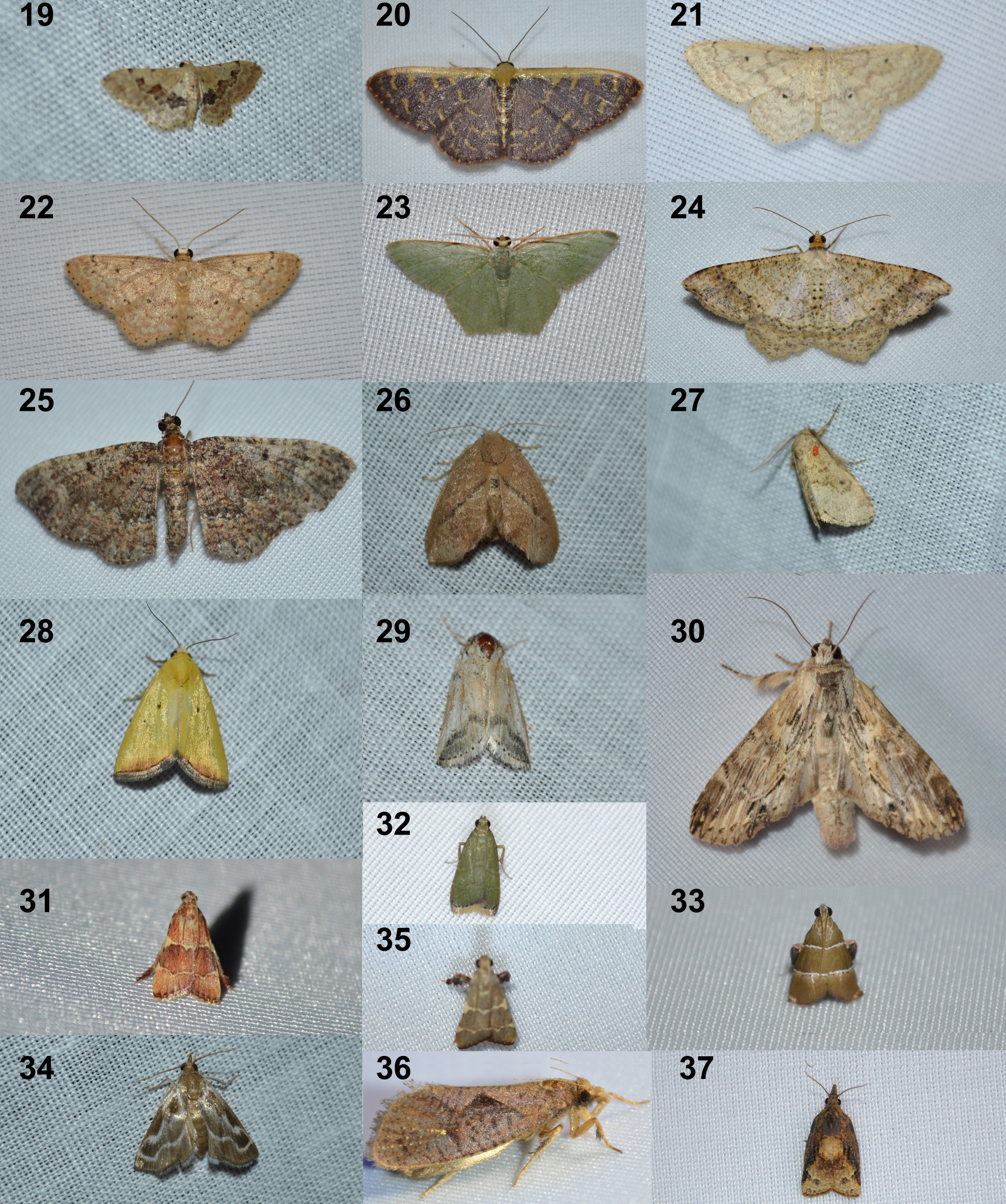 Plate 2 Moths of Huevos Part 2. See text for species names.
