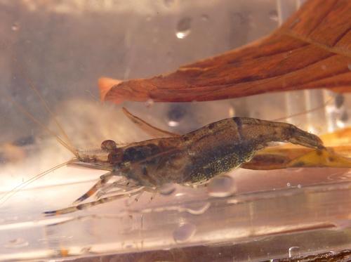 A freshwater prawn (Macrobrachium crenulatum)