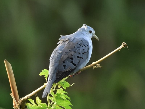 This Blue Groud Dove was the star of the show (Photo: Lawrence James)