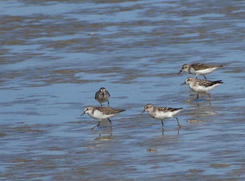 Shorebirds at Orange Valley